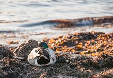 Two ducks at the shore stock photos