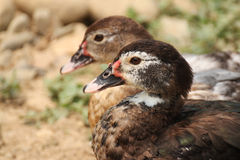 Two ducks. Sitting close together Stock Images