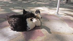 Two ducks sitting in a park. Top view of two ducks sitting in a park stock footage