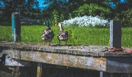 Two ducks sitting on a pier near the grass. In the Netherlands Royalty Free Stock Photo