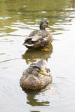 Two ducks Stock Images