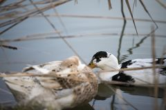 Two ducks sleep on the lake Royalty Free Stock Photography