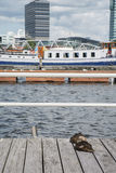 Two ducks are sleeping on the pier near the water. In the city Royalty Free Stock Photography