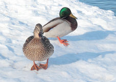 Two ducks on the snow. Two wild ducks on the snow near the lake shore Royalty Free Stock Images