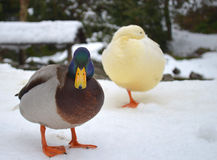 Two ducks in the snow. Colored duck looking in camera, white duck in the background Royalty Free Stock Photography