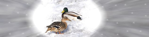 Two ducks on the snow Royalty Free Stock Photos