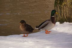 Two ducks on the snow and in front of the ice-cold lake. The sun shines on the snow and the lake. Both ducks are the one behind the other one. They do not look Stock Photos