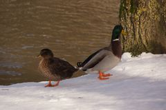 Ducks in front of the ice-cold lake. Two ducks on the snow and in front of the ice-cold lake. The sun shines on the snow and the lake. Both ducks are the one Stock Photo