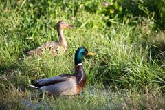 Two ducks in some long grass. Two ducks female and male sitting in some long grass waiting for me to leave Stock Photo