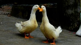 Two ducks standing Royalty Free Stock Photography