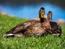 Two Duck Next to Water on Green Grass. Two ducks standing on a green lawn next to a pond Stock Photography
