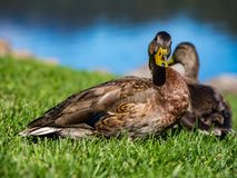 Two Duck Next to Water on Green Grass. Two ducks standing on a green lawn next to a pond Royalty Free Stock Photos