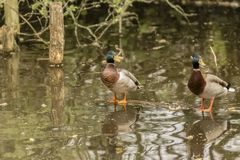 Two Ducks Standing On A Log Floating In Water royalty free stock photography