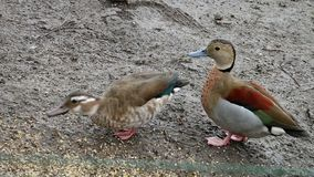 Two ducks standing in mud and one is pecking from ground. Two ducks standing in mud and one is pecking from the ground stock footage