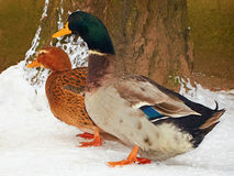 Two ducks standing snow. Two ducks standing on the snow Stock Photo