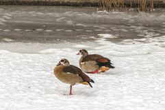 Two ducks standing in the snow royalty free stock photos