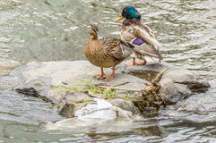 Two ducks stationed on a rock floating over water Royalty Free Stock Photos