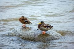 Two ducks on a stone in the lake. stock photos