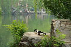 Two ducks on stone. Photo of two ducks on stone Stock Photo