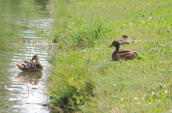 Two ducks in summer, Donetsk Royalty Free Stock Image