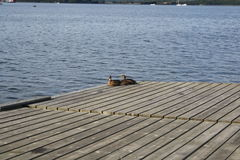 Two ducks sunning. On a dock in the marina in Lindo Stock Photo