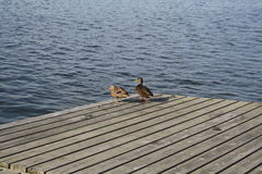 Two ducks sunning. On a dock in the marina in Lindo Stock Photography