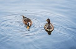 Two ducks swim across the water. Summer day, background. Close-up royalty free stock photo