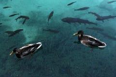Two ducks swim Stock Image
