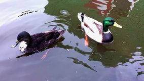 Two ducks swim in the lake. Shooting in the morning in a Park in cloudy weather stock footage
