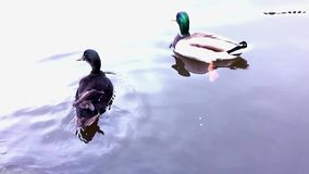 Two ducks swim in the lake. Shooting in the morning in a Park in cloudy weather stock video footage