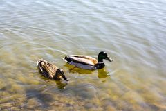 Two ducks swim in the pond royalty free stock photography