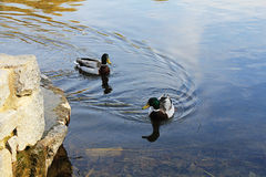 Two ducks. Two ducks swim in the pond Royalty Free Stock Photo