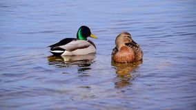 Two Ducks Swim In the River. Two cute ducks swim along the river in the spring stock video footage