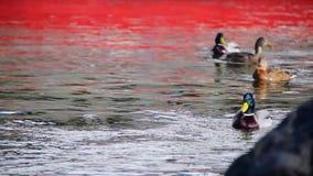 Two Ducks Swim In the River. Cute ducks  swim along the river in the spring. Mallard ducks in the pond stock video footage