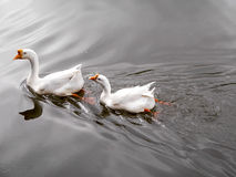 Two ducks swiming in a pond Stock Images