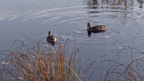 Two ducks swiming in river or pond. Autumn time stock video footage