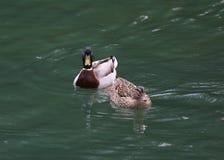 Two ducks swimming in an alpine lake. Two ducks swimming in the placid waters of an alpine lake Royalty Free Stock Photos