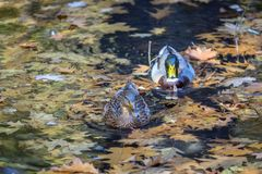 Two Ducks Swimming In Autumn Colors.  stock images