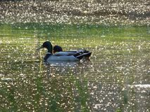 Two Ducks In The Canal royalty free stock photography
