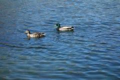 Two Ducks Royalty Free Stock Photo