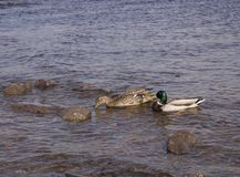 Two ducks are swimming and drinking in the water royalty free stock photos