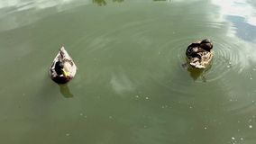 Two ducks swimming in the lake. Action in real time. Pond of ducks stock video
