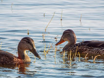 Two ducks swimming on lake in early morning Stock Images