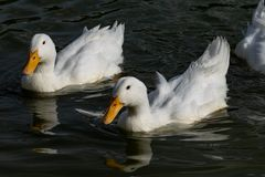 Heavy white duck American Pekin ducks also know as Aylesbury or Long Island ducks stock image