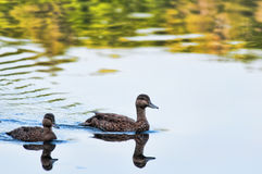Two ducks swimming Stock Image