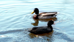 Two ducks swimming in a lake. In slow motion stock video