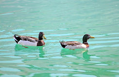 Two ducks are swimming on the lake Royalty Free Stock Image