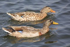 Two ducks swimming in pond. Royalty Free Stock Photo