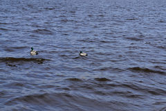 Two ducks swimming in a pond Stock Images