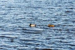 Two ducks swimming on a pond near a beautiful fall sunset Stock Photo